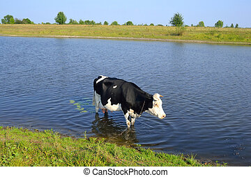 Cow in the river.