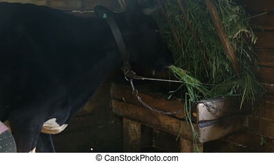Cow in the stall chewing hay