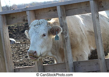 Cow in Transfer-Holding Pen