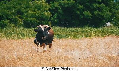 Cow is Grazing in a Field near the Village. Slow Motion in...