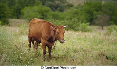 Cow is grazing in a meadow