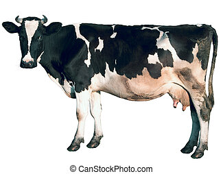 Cow is isolated on a white background. Sacred animal.