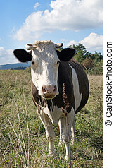 cow is on meadow