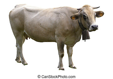 Isolated cow on white background