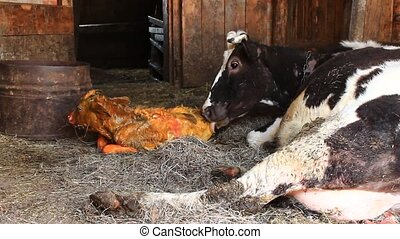 cow licking clean its just newborn red calf