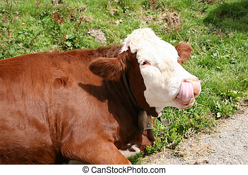 Cow licking