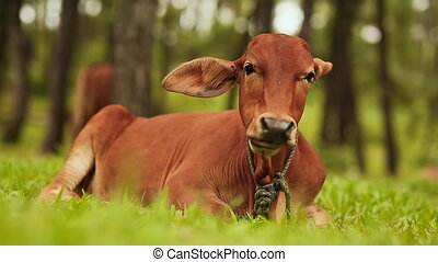 Cow lies on the grass and rest, and after the fear arises. (...