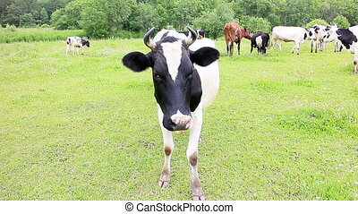 Cow looking at the camera. Transition to common plan