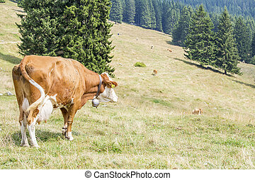 Cow looking the herd grazing on a mountain pasture