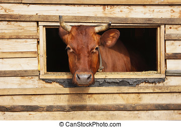 Cow  looks out from the window of a cowshed