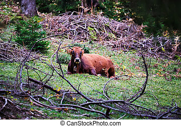 Cow lying in a forest on the mountain Wank