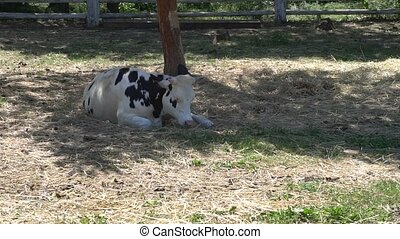 Cow lying in a shadow