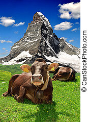 Cow lying in the meadow.In the background of the...