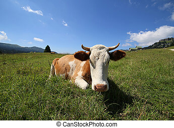 cow lying on the grass photographed with target fish eye