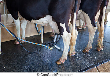 Cow milking facility and mechanized milking equipment in the...