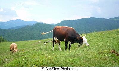 Cow mountain animal - Mountain peaks background animal cow