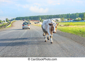 cow moving on country highway