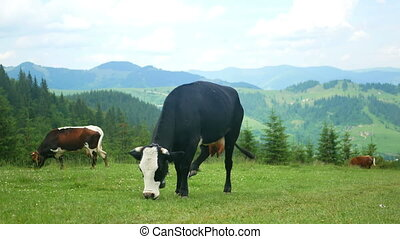 Cow nature animal mountain - A beautiful cow with her cattle...