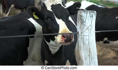 Cow near a fence. Livestock with tag. Animals receive good...