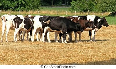 Cow of black-and-white breed standing in the field of dry...
