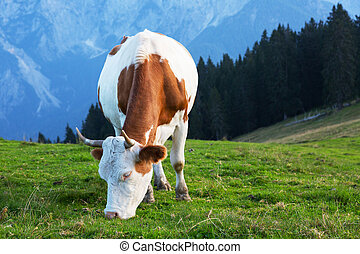 cow on a background of mountains, Alps