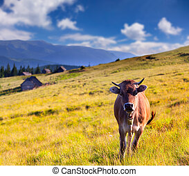 cow on a farm in the mountains