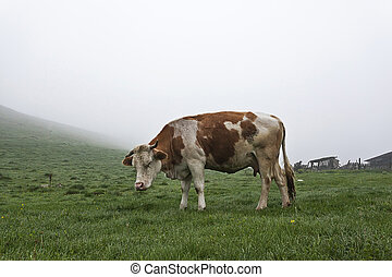 Cow on a green meadow 2 - Cow in the meadow in the mist on...