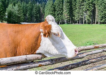 Cow on a meadow in austria