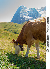 Cow on a mountain pasture on the background of Eiger peak. Grindelwald Bernese Alps Switzerland Europe