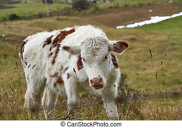 Cow on a pasture