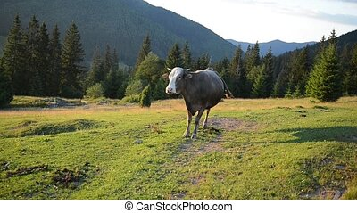 Cow on a pasture near a wooden fence in mountains