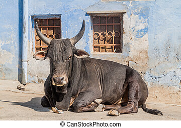 Cow on a street in Udaipur, Rajasthan state, Ind