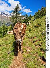 Cow on alpine path
