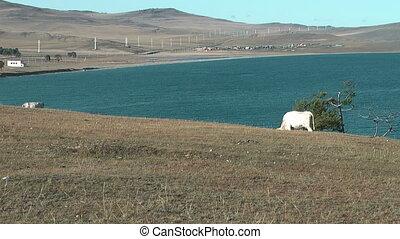 "Cow on coatsline of Baikal lake - Olkhon island. \""Huzhir\""..."