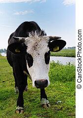 cow on farmland