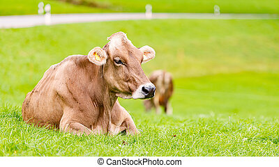 Cow on grass in Bavaria, Germany, Europe