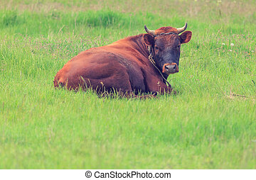 Cow on grass
