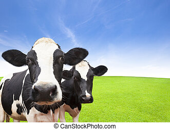 Cow on green grass field with cloud background