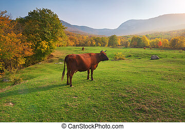 Cow on green meadow in mountain.