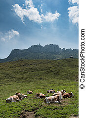 Cow on Kampenwand in Bavaria
