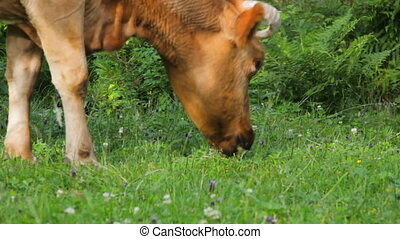 cow on meadow closeup