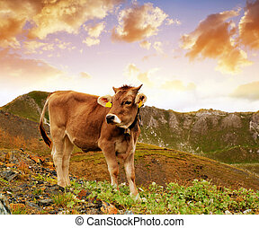 Cow on mountain meadow.