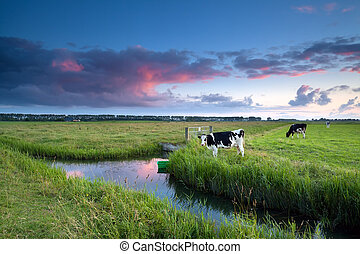 cow on pasture at sunset