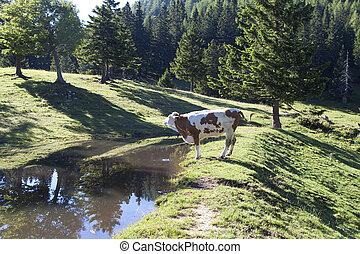 Cow on pasture in an Alpine meadow