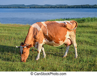 Cow on the background of bright green field.