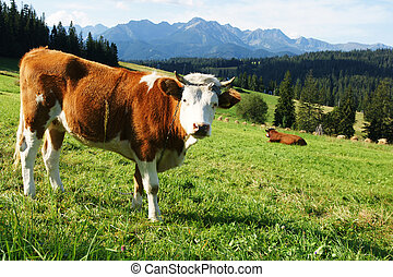 Cow on the background of Polish Tatra  high mountains