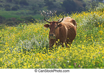 Cow on the field. Israel.