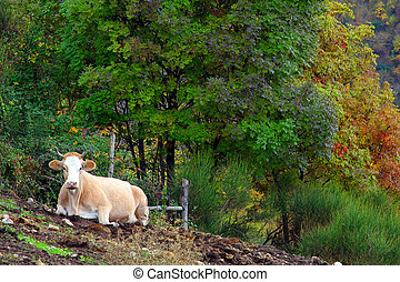 Cow on the grass, in Autumn