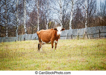 Cow on the meadow by the wooden fence.