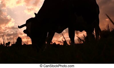 Cow on the meadow grazing the grass. Farming background....